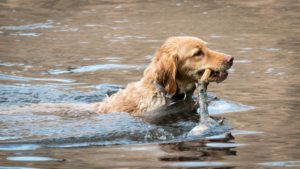 Characteristics of a good hunting dog