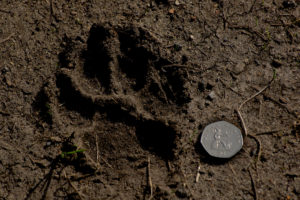 fox footprint
