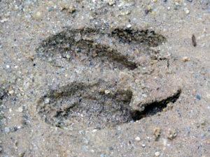 deer footprint