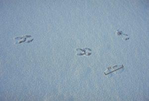 Moose_tracks_on_ice