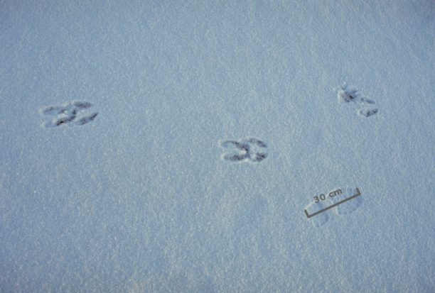 Moose_tracks_on_ice