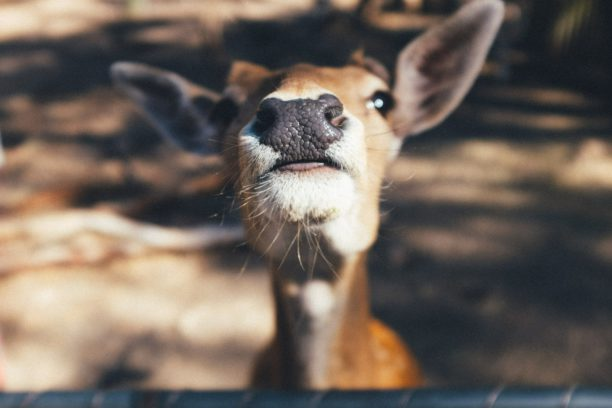 deer have a great sense of smell