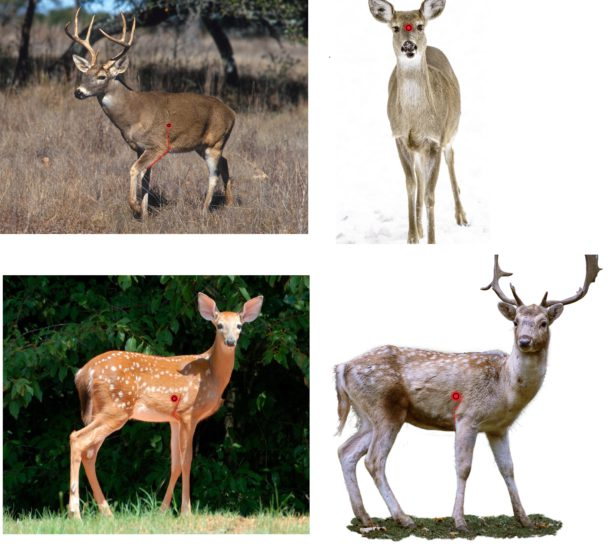 where to shoot deer
