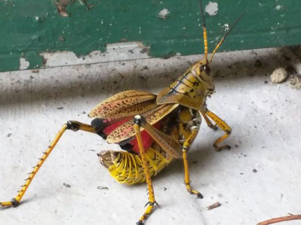 Romalea microptera