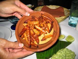 agave worm