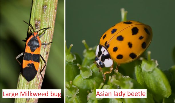 poisonous brightly colored bugs